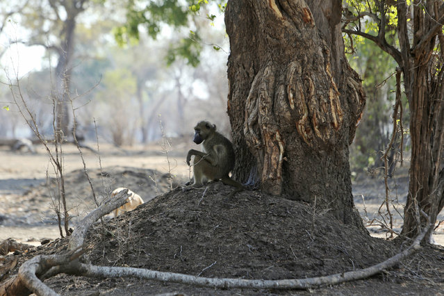 """In this October 27, 2019, photo, a baboon sits under a tree in Mana Pools National Park, Zimbabwe. Elephants, zebras, hippos, impalas, buffaloes and many other wildlife are stressed by lack of food and water in the park, whose very name comes from the four pools of water normally filled by the flooding Zambezi River each rainy season, and where wildlife traditionally drink. The word """"mana"""" means four in the Shona language. (Photo by Tsvangirayi Mukwazhi/AP Photo)"""