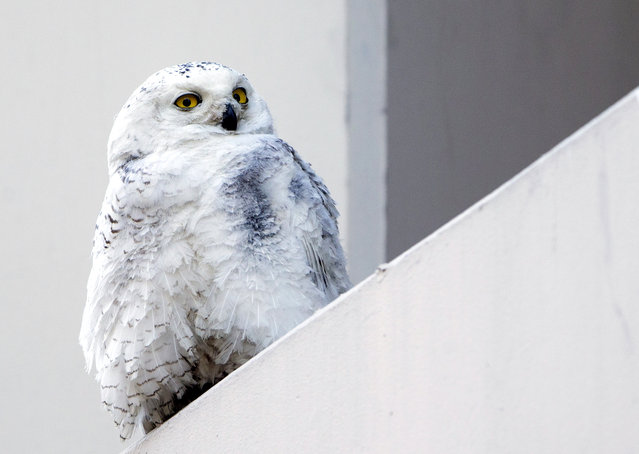 A female snowy owl rests on a ledge of a building in Washington, Friday, January 24, 2014. The snowy owl which breeds in Arctic tundra, attracted passersby snapping pictures and watching its rare presence in the usually warmer urban area. (Photo by Manuel Balce Ceneta/AP Photo)