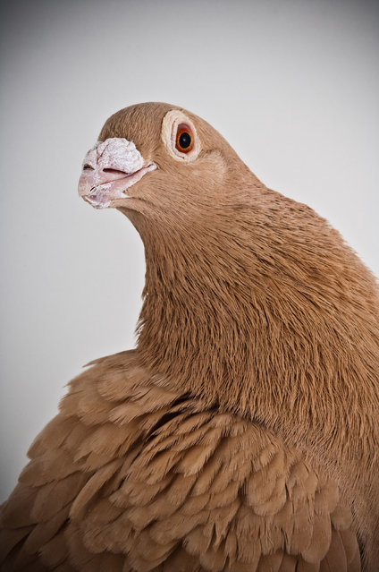 Dragoon. Darwin's Pigeons series. (Photo by Photo by Richard Bailey/Caters News)