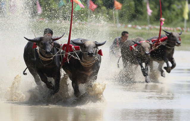 Thai farmers controlling their buffaloes compete in the flooded field during the annual Wooden Plow Buffalo Race in Chonburi Province, southeast of Bangkok, Thailand, Saturday, July 13, 2019.  (Photo by Sakchai Lalit/AP Photo)