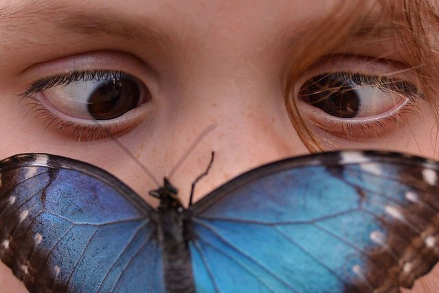 """A Morpho peleides butterfly sits on the nose of a child during a photocall in the Natural History Museum's """"Sensational Butterflies"""" outdoor butterfly house in London on March 31, 2014. (Photo by Ben Stansall/AFP Photo)"""