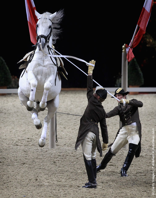 Spanish Riding School Of Vienna, white lipizzaner Stallion