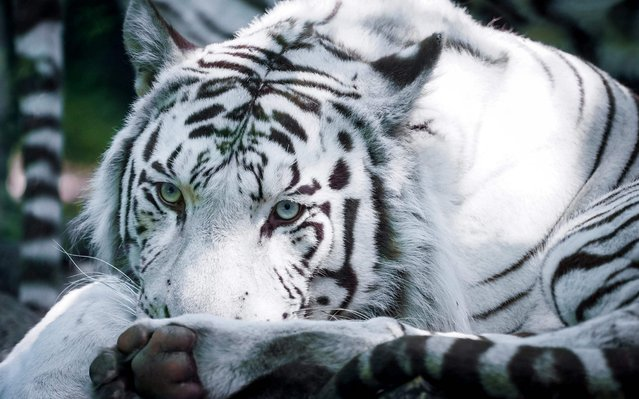 A white tiger is pictured inside its enclosure at The Beauval Zoo in Saint-Aignan-sur-Cher, central France, on September 2, 2019. (Photo by Guillaume Souvant/AFP Photo)