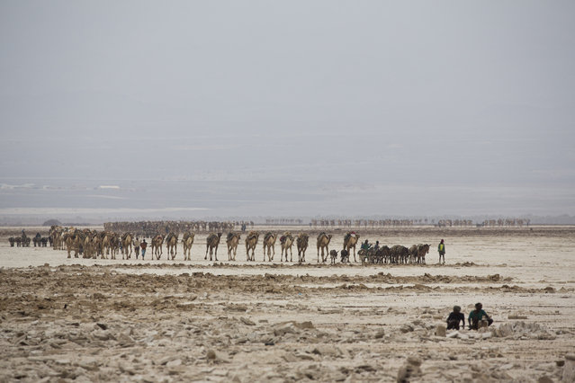 February 8, 2014 – Danakil Desert, Ethiopia: Camel caravans are used for carrying salt through the Danakil desert in the Afar Triangle. (Photo by Ziv Koren/Polaris)
