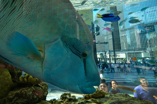 Listed as endangered on the IUCN red list of threatened species, a humphead wrasse, or Napoleon fish, swims in an aquarium during an event in Tokyo's shopping district of Ginza on August 5, 2019. (Photo by Kazuhiro Nogi/AFP Photo)
