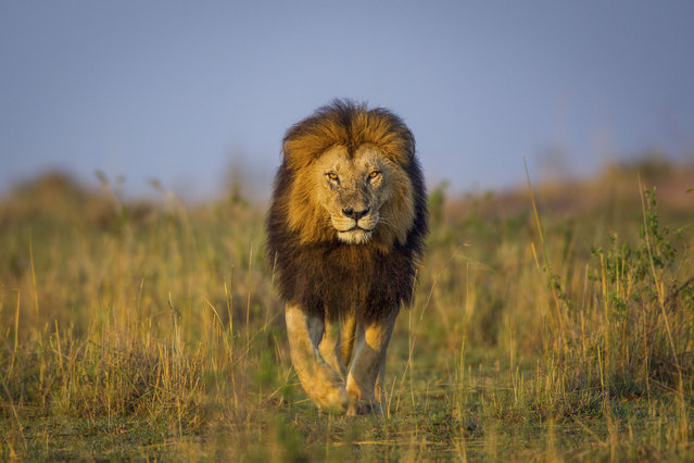 A lion crosses the plains of the  Liuwa Plain National Park, Zambia. (Photo by Will Burrard-Lucas/Caters News Agency)