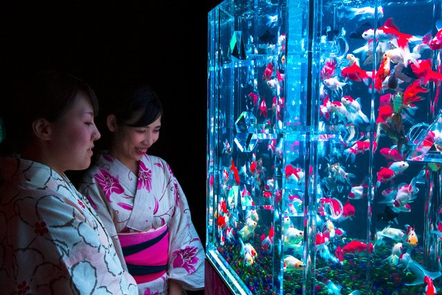 Women wearing kimonos look at goldfish in an illuminated tank at the Art Aquarium exhibition in Tokyo July 10, 2015. Several thousand goldfish are displayed in dozens of uniquely shaped tanks, using LED lights, projection mapping and music in a show that was produced by Japanese designer Hidetomo Kimura. (Photo by Thomas Peter/Reuters)
