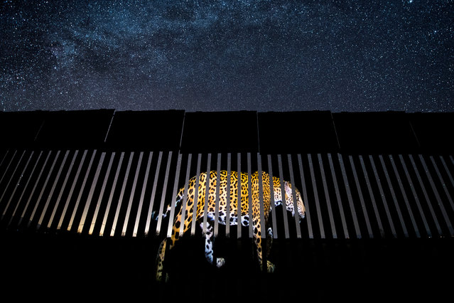 Wildlife photojournalism, single image winner: Another Barred Migrant by Alejandro Prieto, Mexico. An image of a jaguar is projected on to a section of the US-Mexico border fence – symbolic, says Alejandro, of the jaguars' past and future existence in the US. Today, the jaguar's stronghold is in the Amazon, but historically, the range of this large cat included the south-west US. Over the past century, human impact has resulted in the virtual extinction of the species in the US. Two male jaguars are known to inhabit the borderlands of New Mexico and Arizona. (Photo by Alejandro Prieto/2019 Wildlife Photographer of the Year)