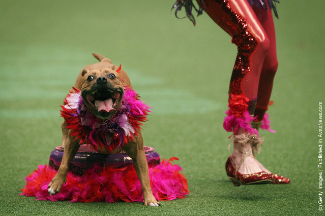 A dog and its owner perform a routine in the main arena on Day three of Crufts at the Birmingham NEC Arena