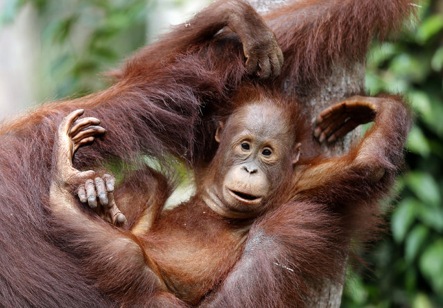 A young orangutan uses his mothers arms and legs as a chair at Camp Leakey in Tanjung Puting National Park, in Kalimantan (Indonesian Borneo), Indonesia, September 3, 2013. (Photo by Barbara Walton/EPA)