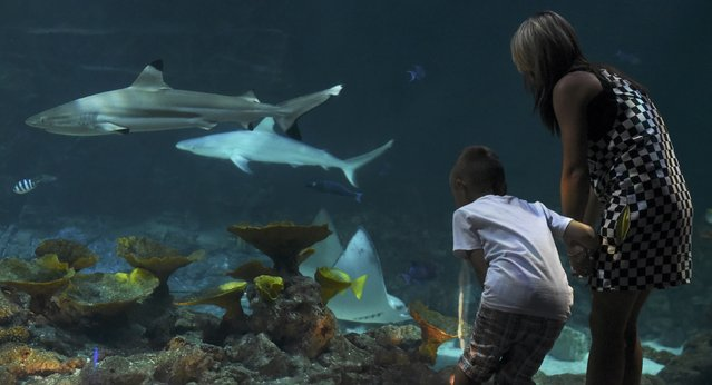 Visitors look at sharks swimming in a giant aquarium in Hagenbecks Zoo in Hamburg, northern Germany August 14, 2015. (Photo by Fabian Bimmer/Reuters)