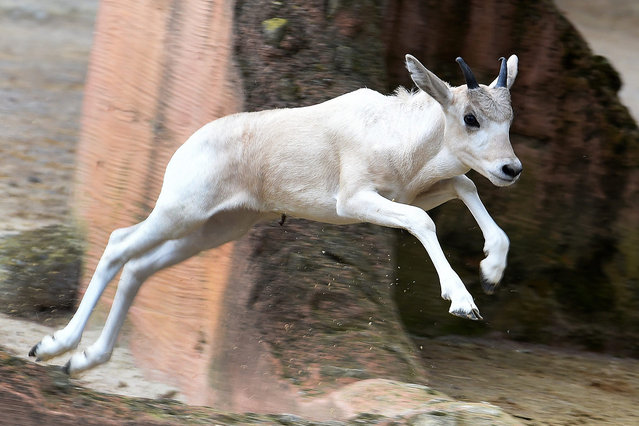 A young white Addax desert antelope jumps around the outdoor enclosure at the zoo in Hannover, Germany, 30 June 2016. In total, two baby antelopes were born in the zoo in mid-May. In their African home region the Addax are critically endangered. (Photo by Holger Hollemann/EPA)