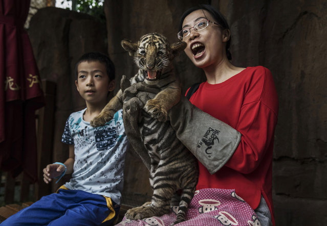 A Chinese tourist wears protective gloves as she holds a baby Siberian tiger as they pose for pictures at the Heilongjiang Siberian Tiger Park on August 16, 2017 in Harbin, northern China. (Photo by Kevin Frayer/Getty Images)