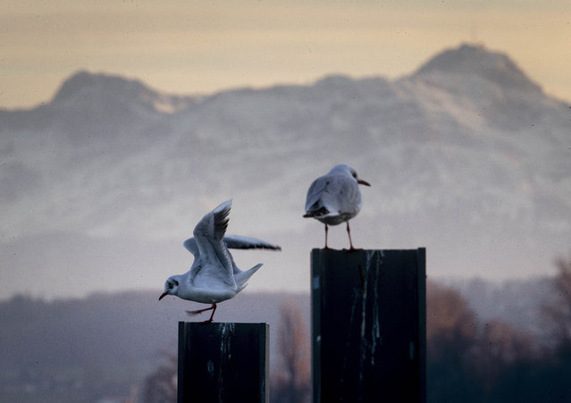 Two seagulls sit on poles with the Swiss Saentis mountain, right, in background in the harbor of Constance, Germany, Thursday, January 9, 2020. (Photo by Michael Probst/AP Photo)