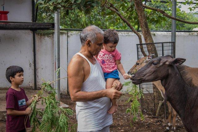 Prakash Amte and his granddaughter are seen feeding Nilgais from his orphanage on September 19, 2017 in Maharashtra, India. (Photo by Haziq Qadri/Barcroft Media)