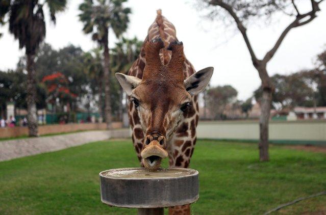"A giraffe in seen at the Zoo ""Parque de Las Leyendas"" in Lima September 27, 2012. (Photo by Lucero Del Castillo/Reuters)"