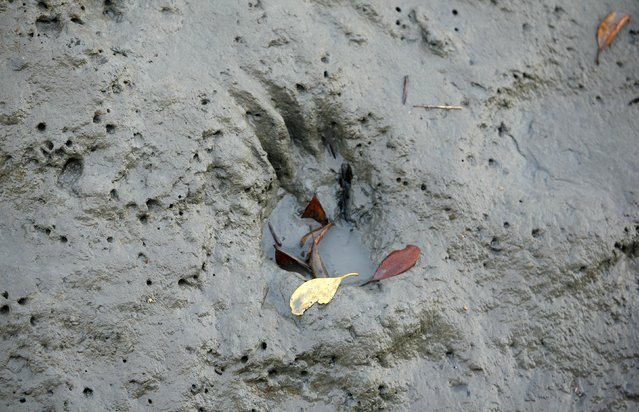 A paw mark of a tiger is seen on the fringes of a forest during a week-long tiger census in the core area of Sundarbans Tiger Reserve, about 130 km (81 miles) south of Kolkata March 4, 2010. (Photo by Parth Sanyal/Reuters)