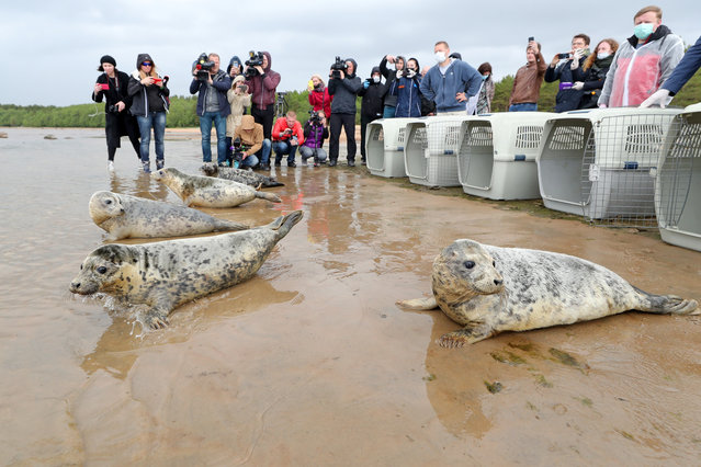 Grey seals released into the waters of the Gulf of Finland by employees of the Marine Mammals Research and Conservation Center, where they were kept, in the Okunyovaya Bay, Leningrad Region, Russia on June 5, 2020. The center conducts treatment and rehabilitation of sick and injured animals and prepares them for the release in their natural habitat. (Photo by Alexander Demianchuk/TASS)