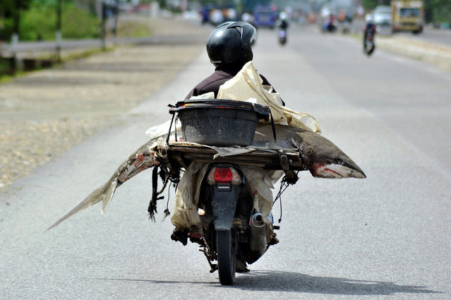 A fishmonger carries a shark on his motorcycle in Padang, West Sumatra, Indonesia August 25, 2016. (Photo by Iggoy el Fitra/Reuters/Antara Foto)