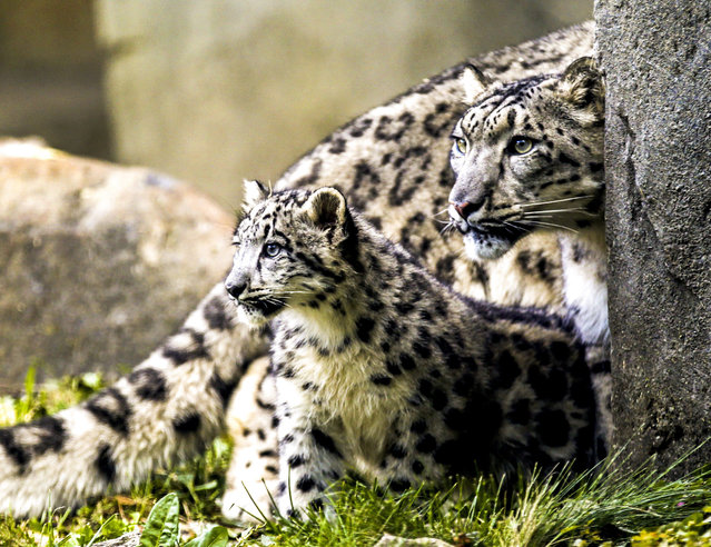 A four month old snow leopard cub (L) (Pantheria uncia) explores its habitat as it makes its public appearance with mother Sarani (R) at the Brookfield Zoo in Brookfield, Illinois, USA, 07 October 2015. The cub is one of two in the litter that was born on 16 June 2015. The litter is the second one for Sarani and her 5-year-old mate, Sabu. (Photo by Tannen  Maury/EPA)