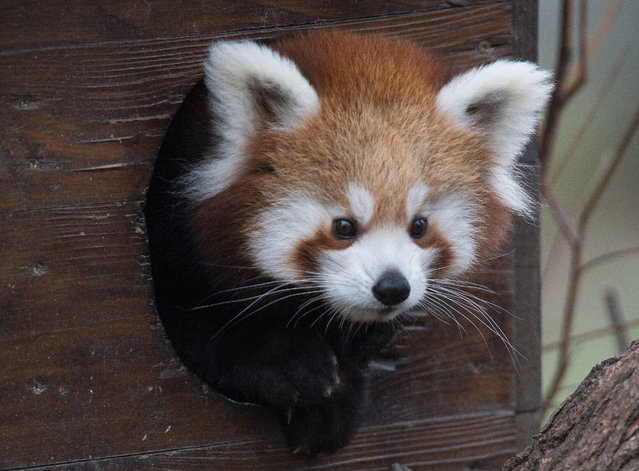 A four-months-old red panda cub peeks through a hole of a wooden shack at Bratislava's Zoo on November 13, 2014. Two cubs, Pim and Pam, were born to parents Pung and Coco on July 2. The red panda, also known as lesser panda and red cat-bear, is a small arboreal mammal native to the eastern Himalayas and south-western China. (Photo by Joe Klamar/AFP Photo)