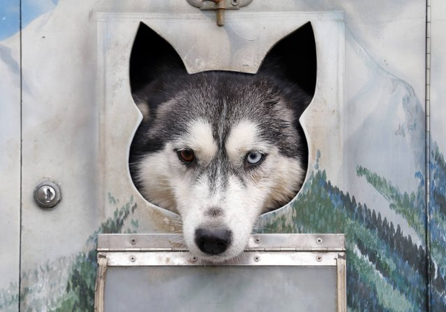 A dog rests in a cage during a sled dog European Championship in Venek November 22, 2014. (Photo by Laszlo Balogh/Reuters)