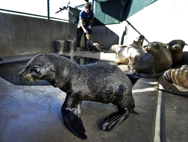 A Guadalupe fur seal passes by as SeaWorld animal rescue team member Heather Ruce feeds a California sea lion at their rescue facility in San Diego, February 26, 2013. Area rescue crews are seeing a higher than average amount of stranded sea lions this year, a trend likely caused by scarce food supply, according to the National Oceanic and Atmospheric Administration. (Photo by Gregory Bull/Associated Press)