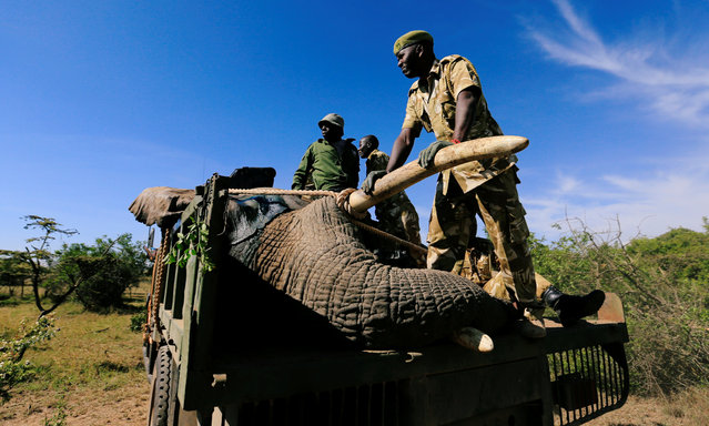 Kenya Wildlife Service (KWS) rangers load a tranquilized elephant onto a truck during a translocation exercise to Ithumba Camp in Tsavo East National Park, in Solio Ranch in Nyeri County, Kenya February 21, 2018. The ranch and the surrounding Lamuria region, home to about 300 elephants, forms part of a migration corridor for the pachyderms between the parks in the country's Mount Kenya and Aberdare mountain ranges. (Photo by Thomas Mukoya/Reuters)