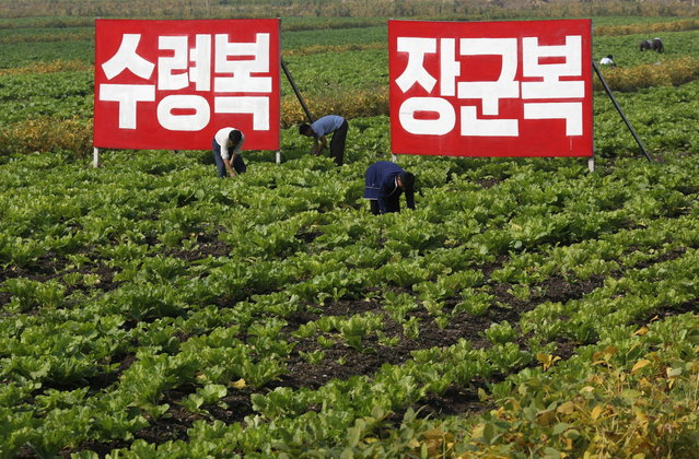 """In this Sunday, September 23, 2012 photo, North Korean farmers work at Migok Cooperative Farm in Sariwon, North Hwanghae Province, North Korea. Farmers would be able to keep a bigger share of their crops under proposed changes aiming to boost production by North Korea's collective farms, which have chronically struggled to provide enough food for the country's 24 million people. The signs read """"Fortune of holding great leader (Kim Il Sung) as father"""", left, and """"Fortune of holding great general (Kim Jong Il) as father"""". (Photo by Vincent Yu/AP Photo)"""