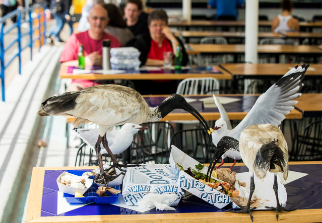 Concerns that ibises carry disease are said by experts to be misplaced, but that has done little to ease widespread dislike of the species. (Photo by Rick Stevens/The Guardian)