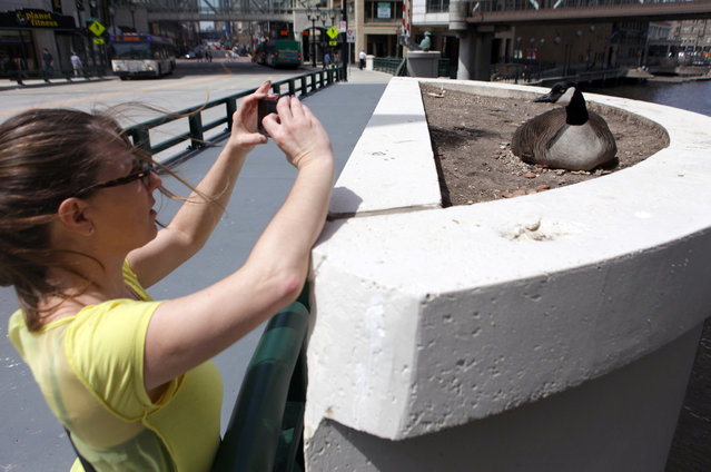 Therese Joyce snaps a photo of a Canada goose that has taken up residence on near the Wisconsin Ave. Bridge on Tuesday, April 30, 2013. (Photo by Mike De Sisti)