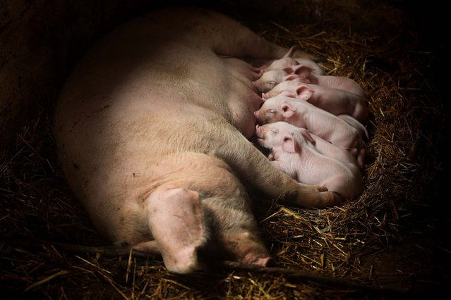 Piglets suck at a sow's teets on a small farm in Sarulesti, Romania. (Photo by Sean Gallup/Getty Images)