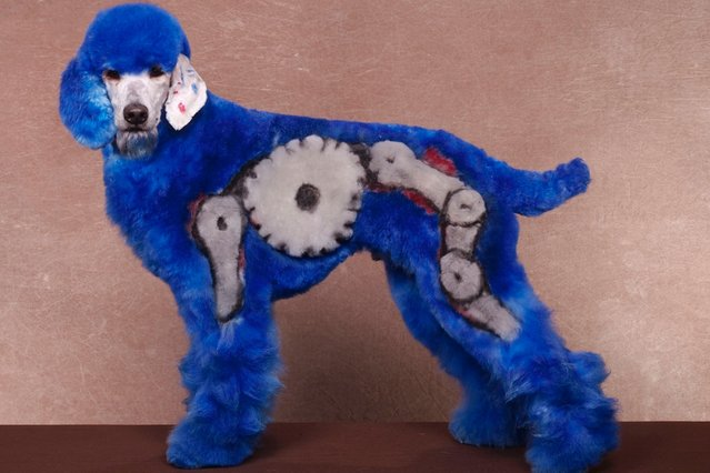 A dog with a blue robot design at a creative grooming competition in Hershey, Pennsylvania. (Photo by Ren Netherland/Barcroft Media)