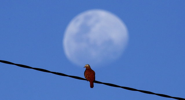 A bird sits on a power line in front of the rising moon outside the stadium of Salvador, ahead of the Confederations Cup soccer match between Nigeria and Uruguay, June 20, 2013. (Photo by Kai Pfaffenbach/Reuters)