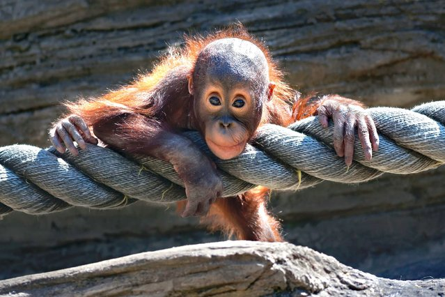 Cheeky orangutan tries out his rope at Moscow Zoo, on June 27, 2013. (Photo by Caters News)