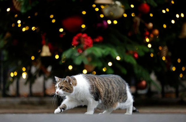 Larry the 10 Downing Street cat stalks a pigeon near the Christmas tree in Downing Street in central London on December 9, 2020. British Prime Minister Boris Johnson and European Commission president Ursula von der Leyen are to meet in Brussels on Wednesday to try to break the deadlock in Brexit trade talks. (Photo by Tolga Akmen/AFP Photo)