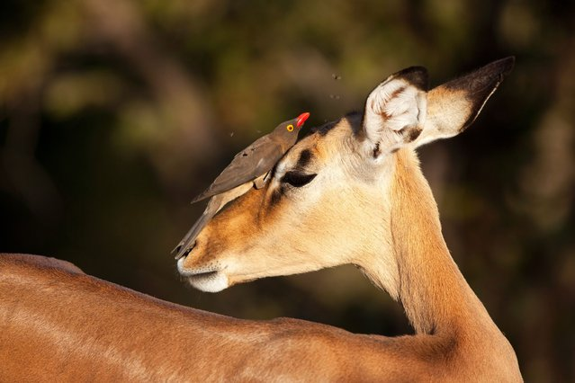 This lucky impala was the centre of attention at a national park as seven birds perched on its back at Kruger National Park, on July 15, 2013. (Photo by Richard Du Toit/Minden Pictures/Solent)