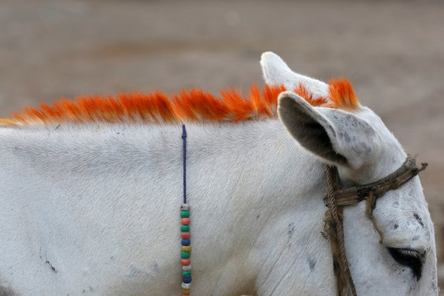 A donkey with a henna dyed mane, for decorative purposes, is seen in a low-income neighbourhood in Karachi, Pakistan September 12, 2018. (Photo by Akhtar Soomro/Reuters)