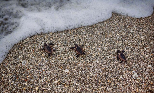Three loggerhead hatchlings crawl to the surf after emerging from their nest in Coral Cove Park. (Photo by Greg Lovett/The Palm Beach Post)