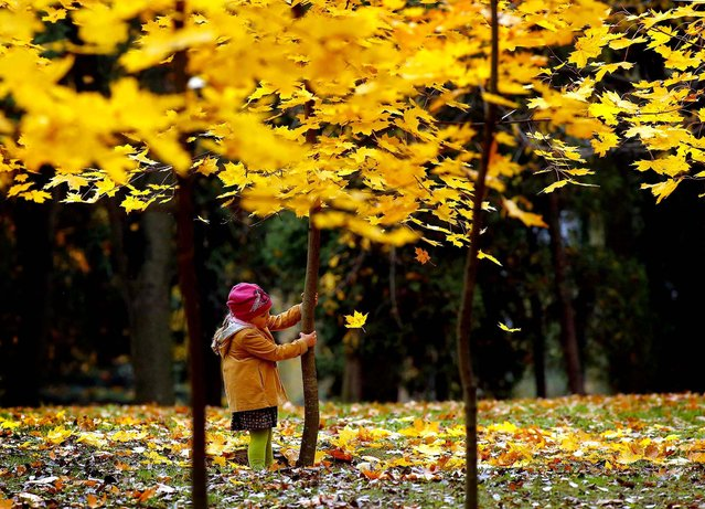 A girl shakes a young tree to make the yellow leaves fall in a park in the Belarusian capital of Minsk, October 14, 2013. (Photo by Sergei Grits/Associated Press)