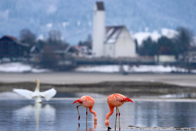 """Flamingos stand in the calm water of the """"Forggensee"""" lake near Fuessen, Germany, February 17, 2016. Exotic birds have been frequently spotted in the past in the area around the Forggensee and other lakes around Bavaria. (Photo by Karl-Josef Hildenbrand/EPA)"""