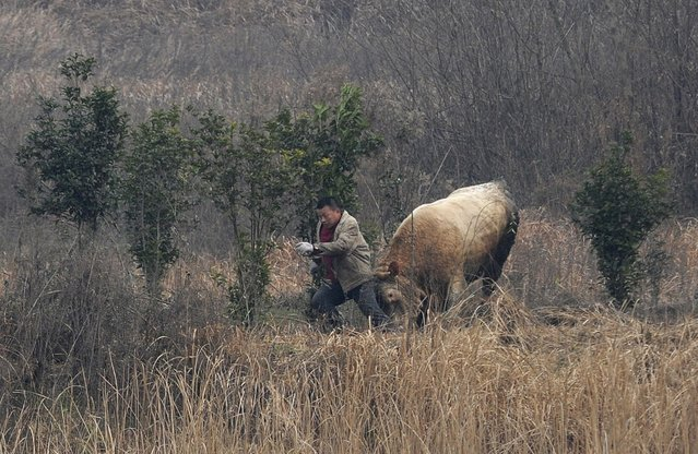 A cow, which escaped from a truck, attacks a farmer trying to catch it in Liangdun village of Nangang township, Anhui province December 15, 2013. The 700 kilogram (1,543 lb) cow attacked several farmers before being shot dead by policemen, local media reported. (Photo by Reuters/China Daily)