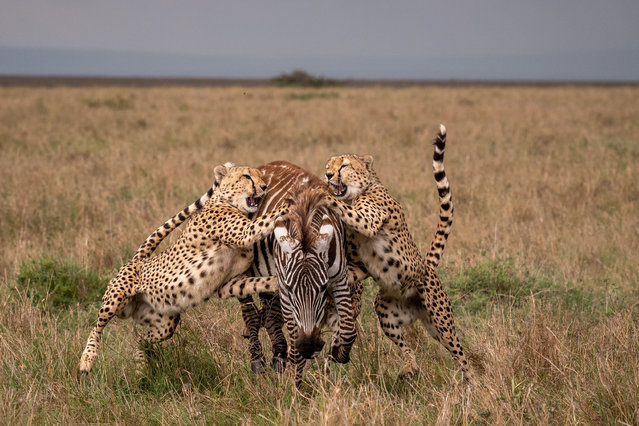 Cheetahs work together to bring down a zebra in Kenya, 2021. The doomed escape sequence captured the zebra fleeing from the predators' stealthy pursuit and delivering an epic karate kick blow in their direction in a desperate attempt at self-defence. The equine's escape was all in vain as the group of cheetahs swarmed in and dragged their meal to the ground. (Photo by Yarin Klein/Mediadrumimages)