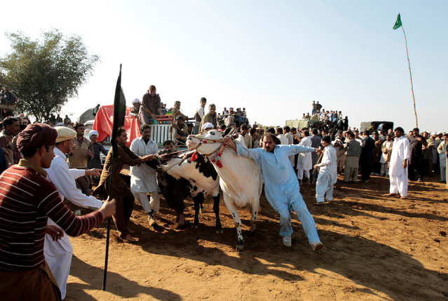 Men try to restrain bulls as they guide them down the track at a bull race in Pind Sultani, Pakistan January 31, 2017. (Photo by Caren Firouz/Reuters)