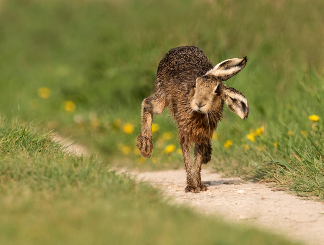 A brown hare (Lepus europaeus) in Oxfordshire, county in South East England on April 22, 2019. (Photo by Jerome Murray/Alamy Stock Photo)