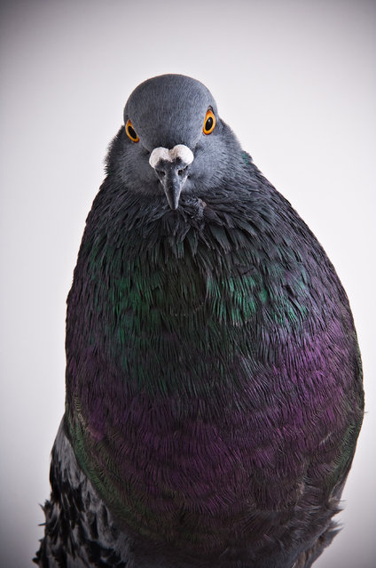 Horseman Pouter. Darwin's Pigeons series. (Photo by Photo by Richard Bailey/Caters News)