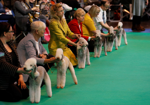 Bedlington Terriers are shown during the first day of the Crufts Dog Show in Birmingham, Britain March 9, 2017. (Photo by Darren Staples/Reuters)