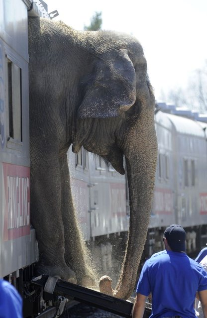 Five elephants from Ringling Bros. and Barnum and Bailey: Legends Circus are led from the Huntsville railroad depot through downtown. (Photo by AL.com/Landov/Barcroft Media)