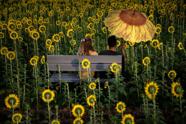 A couple sits in a crop of sunflowers at Burnside Farms' Nokesville flower field August 22, 2019, in Nokesville, Virginia. (Photo by Brendan Smialowski/AFP Photo)