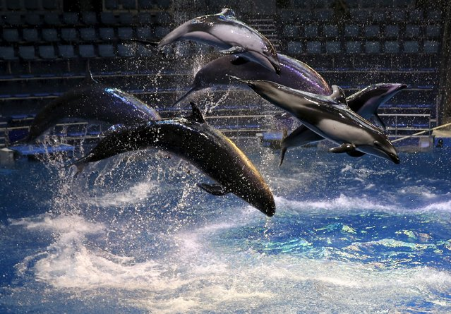 Dolphins and whales jump out of the water at a media preview for the Epson Aqua Park Shinagawa aquarium's re-opening in Tokyo, July 6, 2015. (Photo by Toru Hanai/Reuters)